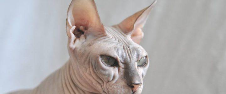 Healthy Sphynx Cat